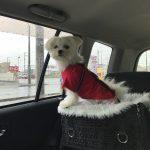 車酔いの酷い愛犬エマ(マルポメ/ポメマル)のドライブ必須アイテムは「ドライブボックス」車酔い防止をサポート