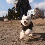 愛犬エマ(犬・ペット)と東京人気デートスポットお台場海浜公園でお散歩