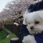 幸手権現堂桜堤(埼玉県幸手市)で愛犬エマとの犬連れお花見散歩。