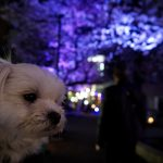 愛犬エマと呑川(のみかわ)緑道(目黒区/都立大学駅周辺)で夜桜花見!!犬連れお花見スポット