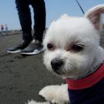 湘南サザンビーチ茅ヶ崎にてテンションMAXの愛犬エマと海辺砂浜遊び(散歩)