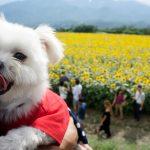 インスタ映えな絶景「明野のひまわり畑」で愛犬エマと夏を満喫!!#山梨観光旅行犬連れドライブ