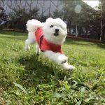 山中湖(河口湖)犬連れホテルとレジャー施設「ドッグリゾートWoof(ワフ)」!!ドッグランで走り回る愛犬エマ
