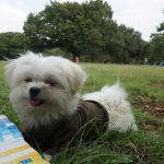 愛犬エマと代々木公園で犬連れピクニック!!芝生でゆっくり。