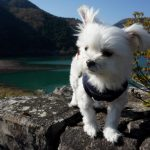 神奈川県足柄・紅葉スポット丹沢湖までペット犬連れ観光ドライブ!!野生のタヌキと遭遇